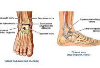 Лодыжка: как устроена, где находится, функции и возможные травматические повреждения