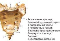 Крестец: анатомическое строение, функции, травмы и типичные болезни, которые затрагивают эту кость
