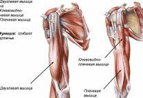 Мышцы плеча: анатомия и функции