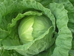 капуста - полезный продукт и народное средство лечения