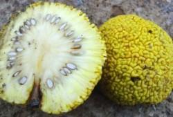 """Лечение суставов """"адамовым яблоком"""": как применять плоды маклюры"""