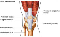 строение коленного сустава, вид спереди