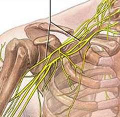 нервные сплетения в области плеча