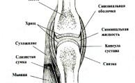схема строения простого сустава человека