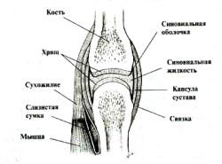 Полезный ликбез: какие бывают суставы и их каких частей они состоят