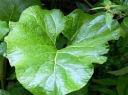 из листьев растения можно сделать полезный компресс