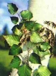 листья березы - хорошее средство при полиартрите