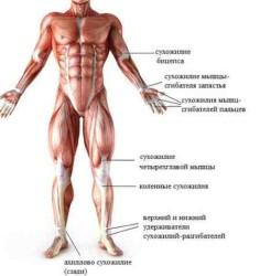 сухожилие – это соединительная ткань, которая соединяет брюшко мышцы с костью
