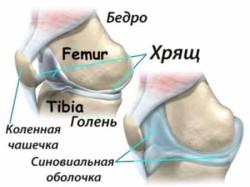суставы и синовиальная оболочка