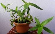 Золотой ус: полезные свойства растения, народные рецепты, как применять для лечения суставов