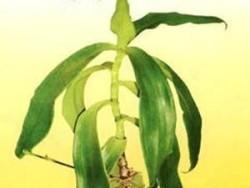 Для лечение берут старое растение