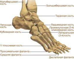 строение нижней части ноги