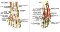 мышцы подошвы