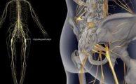 Седалищный нерв: анатомическое строение, возможные заболевания и их лечение